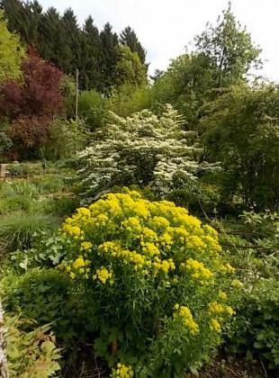 """Euphorbia palustris  Viburnum plicatum""""Mariesii"""""""