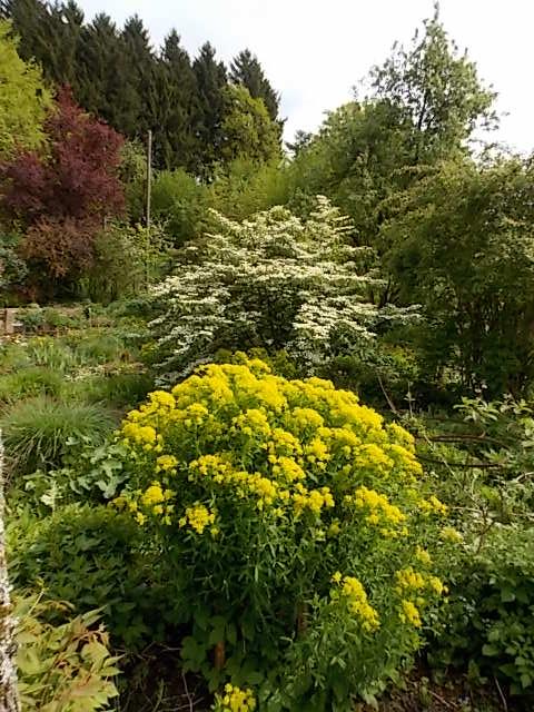 """Viburnum plicatum """"Mariesii"""" mit Euphorbia palustris"""