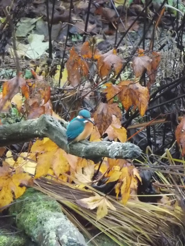 Dieser Eichenast , der sich in etwa 80cm über der Wasserfläche befindet , ist ein idealer Ansitz. Von hieraus können die Vögel energiesparend fischen.